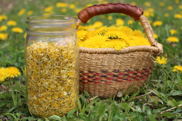 Harvesting flowers for dandelion jelly