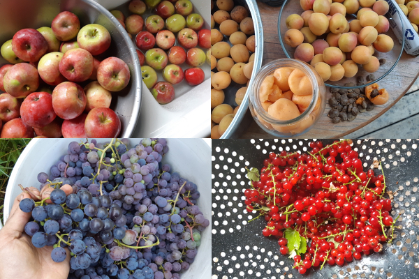 Fresh produce for fruit vinegar. Fully ripe apples, apricots, grapes and red currants.