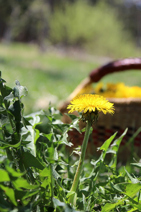 Ethically foraging dandelions for jelly