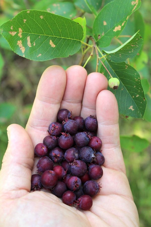 Foraging Wild Serviceberries