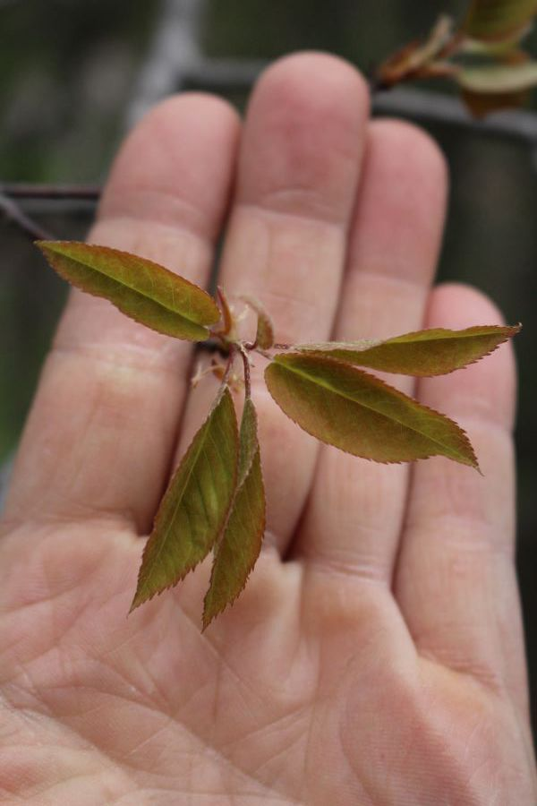 Young Serviceberry Leaves