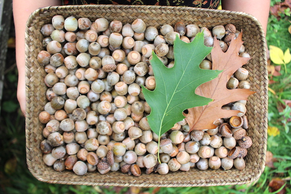 Basket of wild harvested acorns before they're made into flour