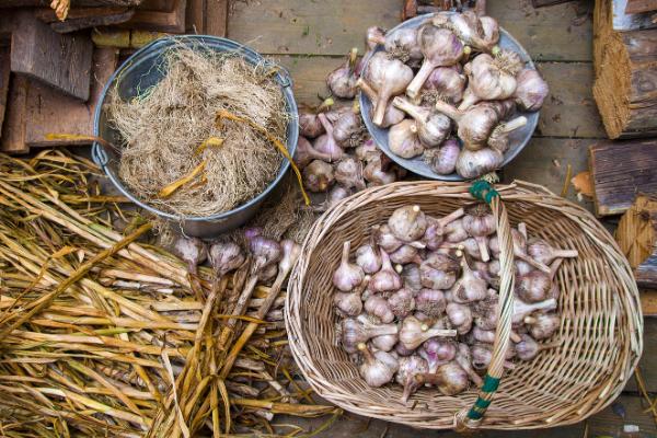Preparing Cured Garlic for Storage