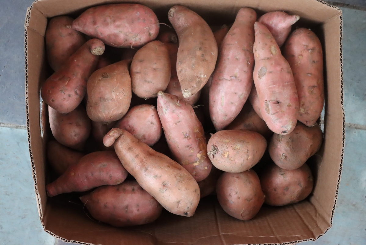 Nearly 30 pounds of sweet potatoes, or enough to can 14 quart jars.