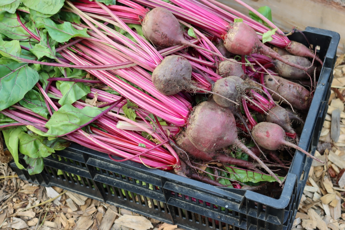 Fresh beets harvested from our garden.