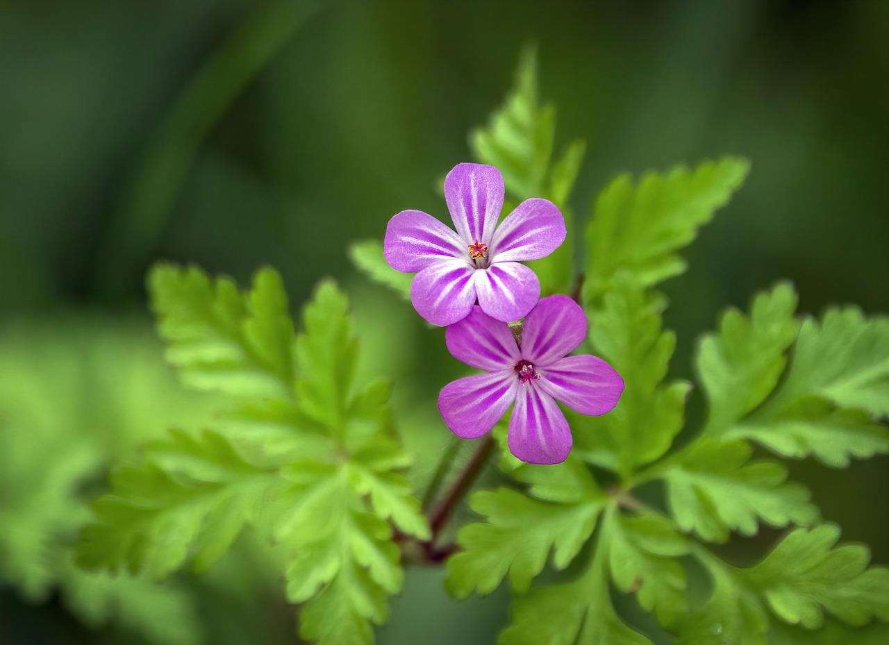 herb robert