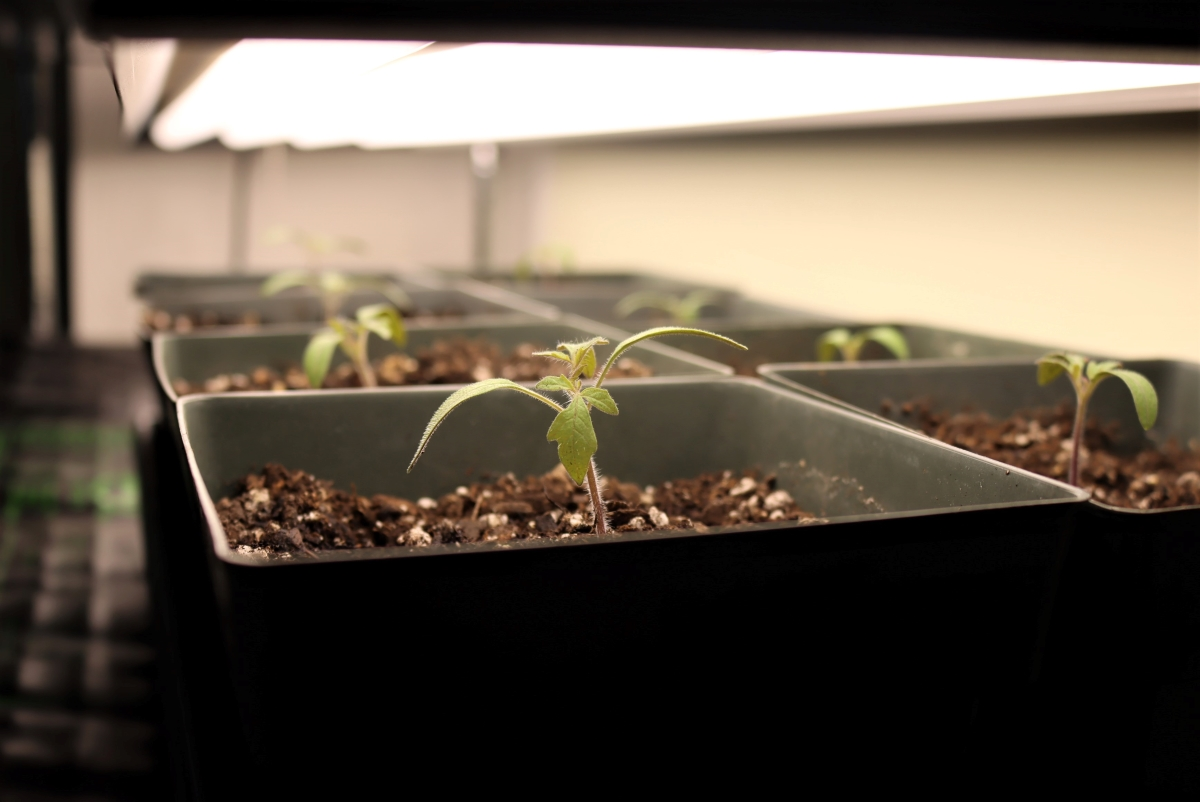Tomato seedlings under DIY Grow Lights