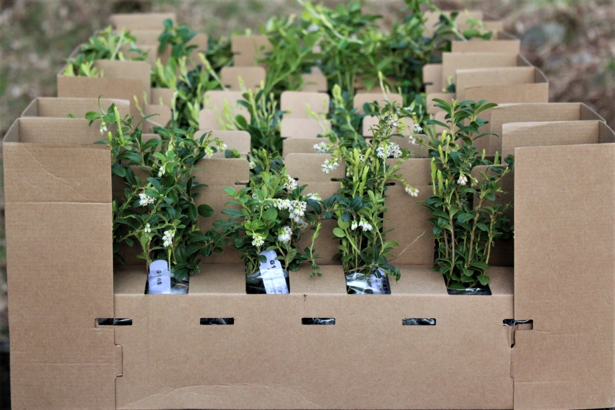 Buying Lingonberry Plants