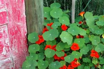 Edible Nasturtium Flowers