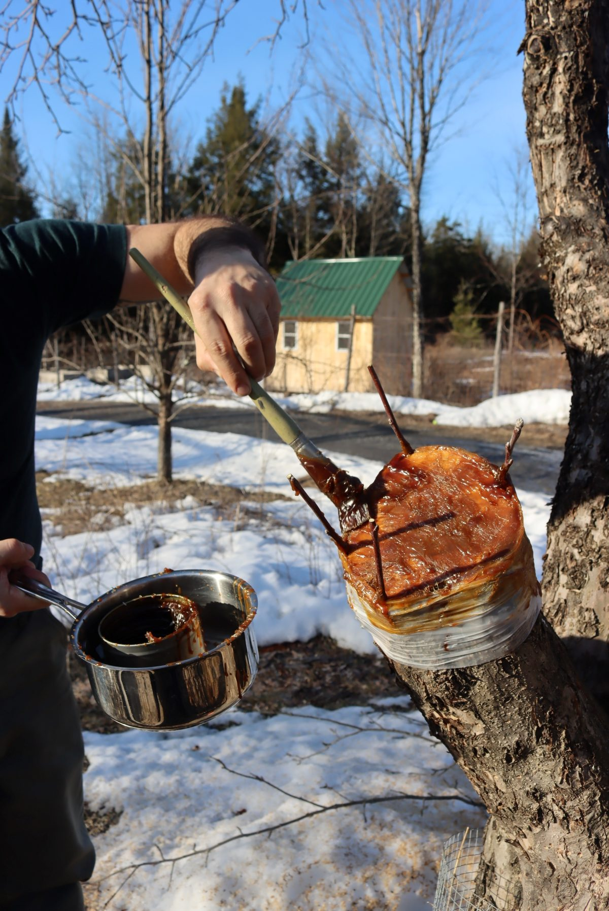 Sealing a bark grafted apple tree with grafting wax