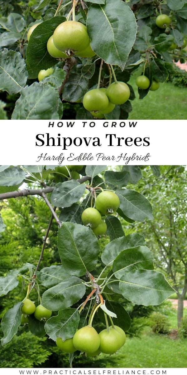 Growing Shipova Trees