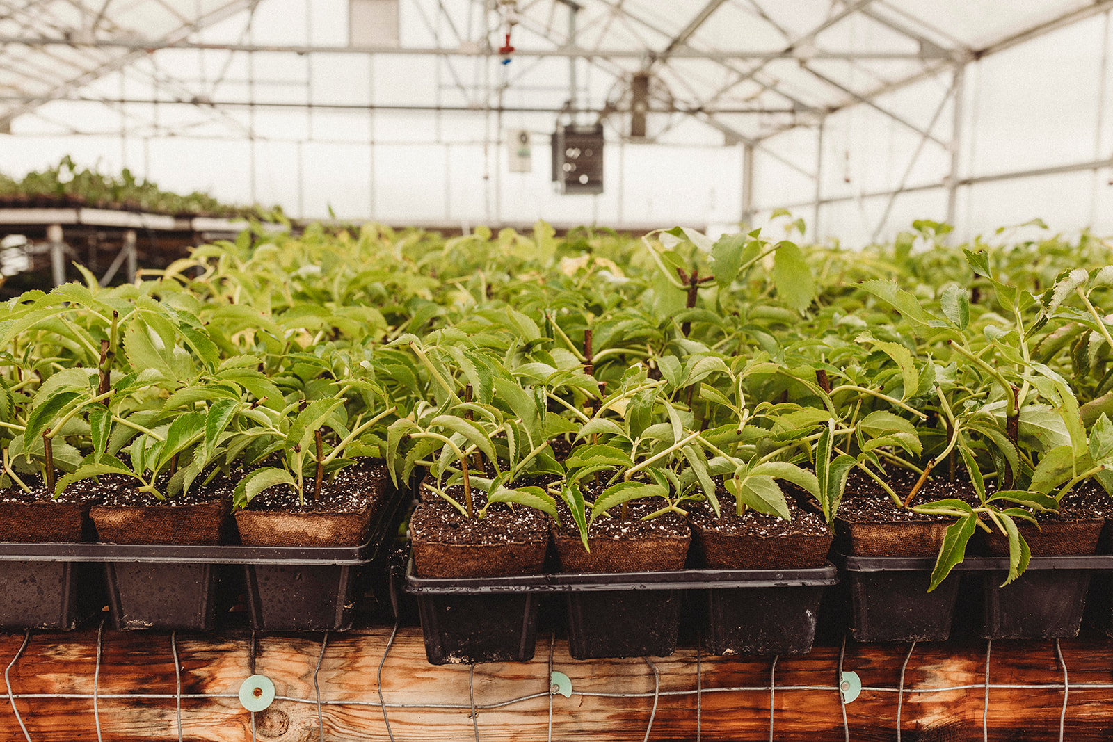 Norms Farm Greenhouse Elderberries