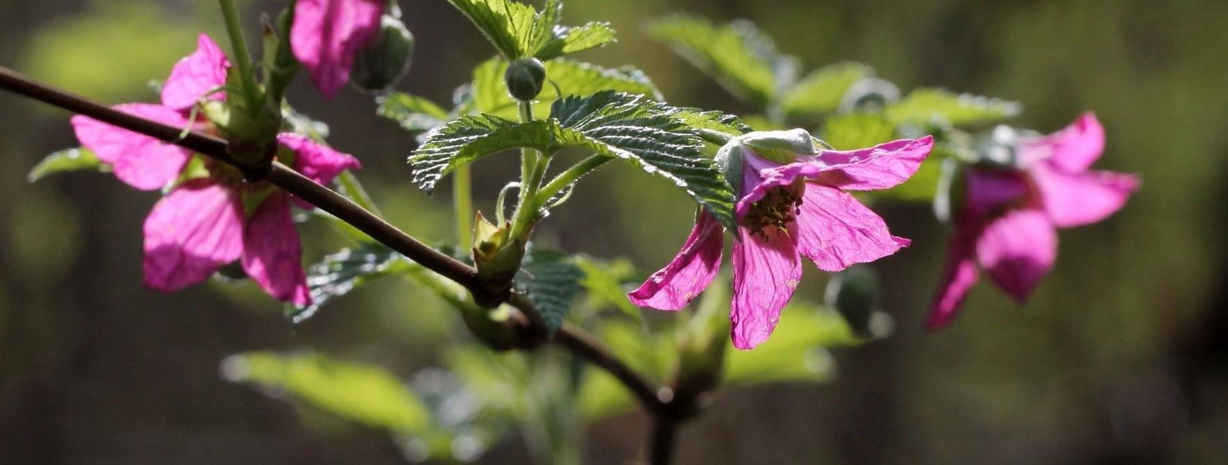 Salmonberry Flowers