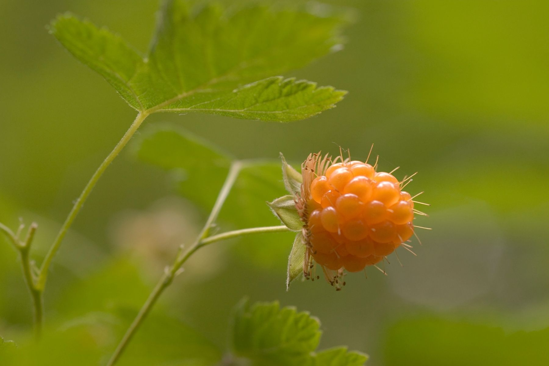 Salmonberry Plant Fruit