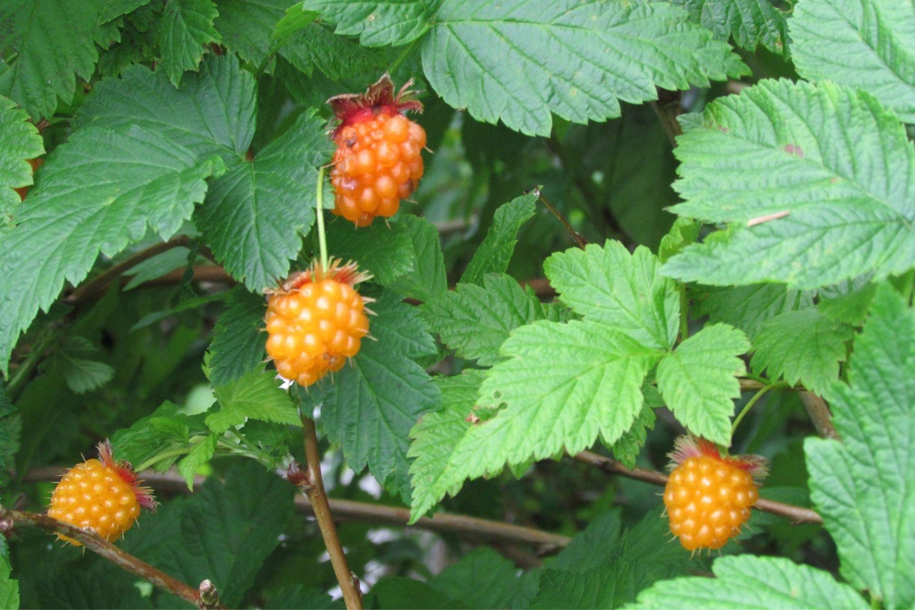 Salmonberry Plants