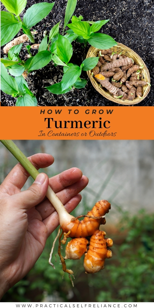 How to Grow Turmeric ~ Growing Turmeric at Home