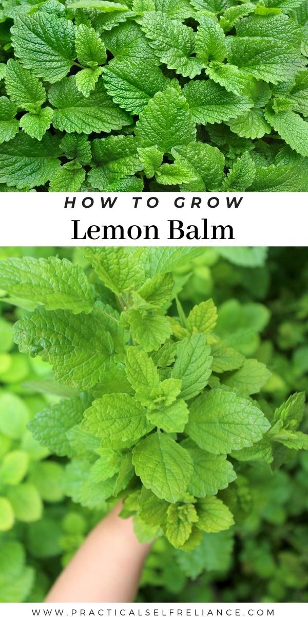 How to Grow Lemon Balm