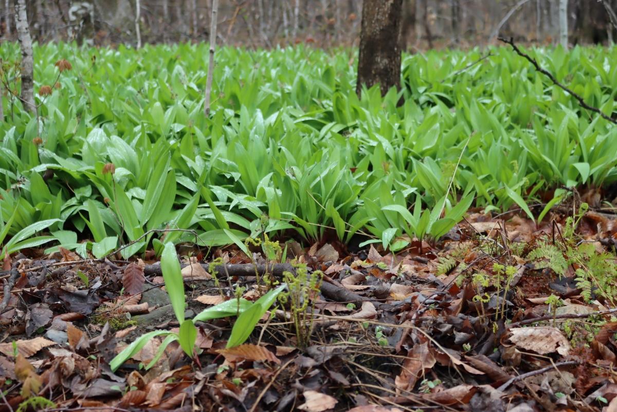 Ramp (Allium tricoccum)
