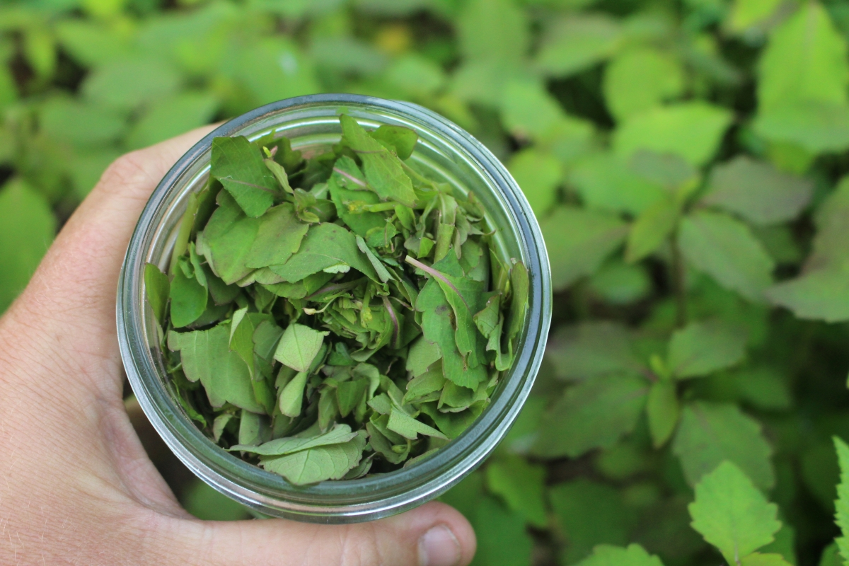 jewelweed for salve