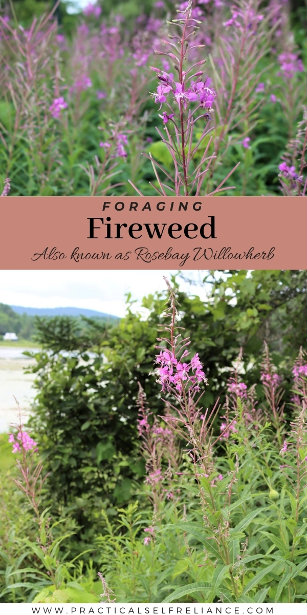 Foraging Fireweed