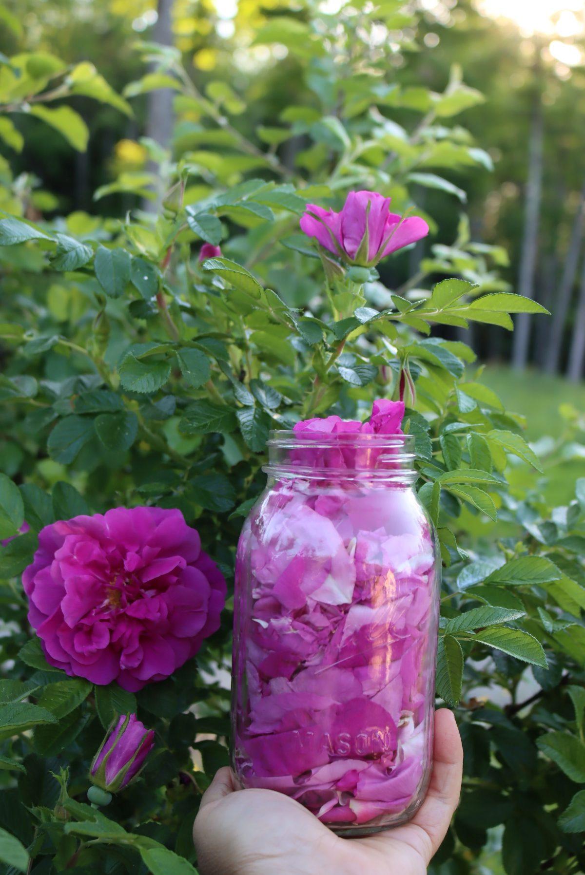 Rose Petal Harvest