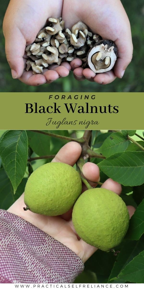 Foraging Black Walnuts (Juglans nigra)