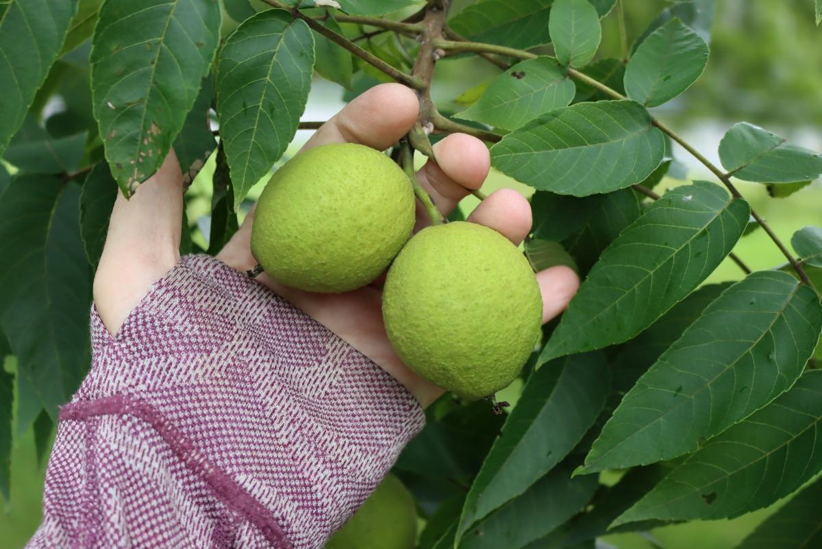 Foraging Black Walnuts