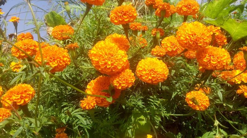 यसपालीको तिहारमा भारतबाट फूल नल्याइने