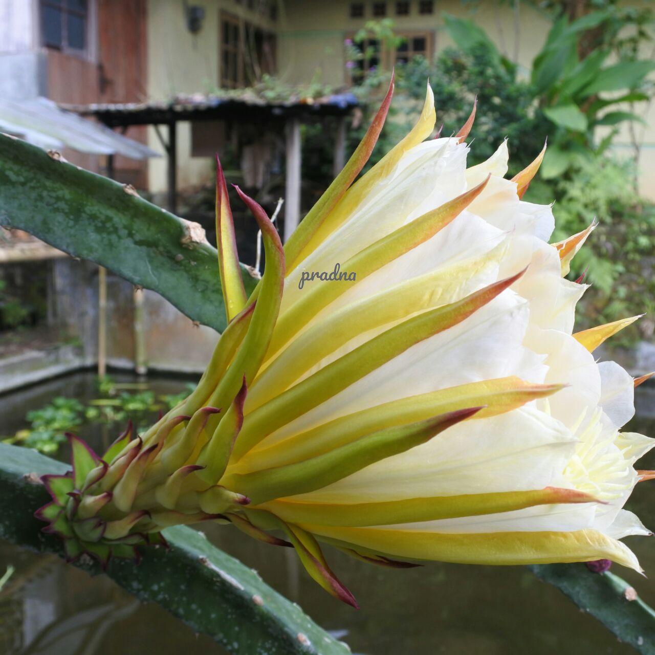 fotografi bunga kaktus