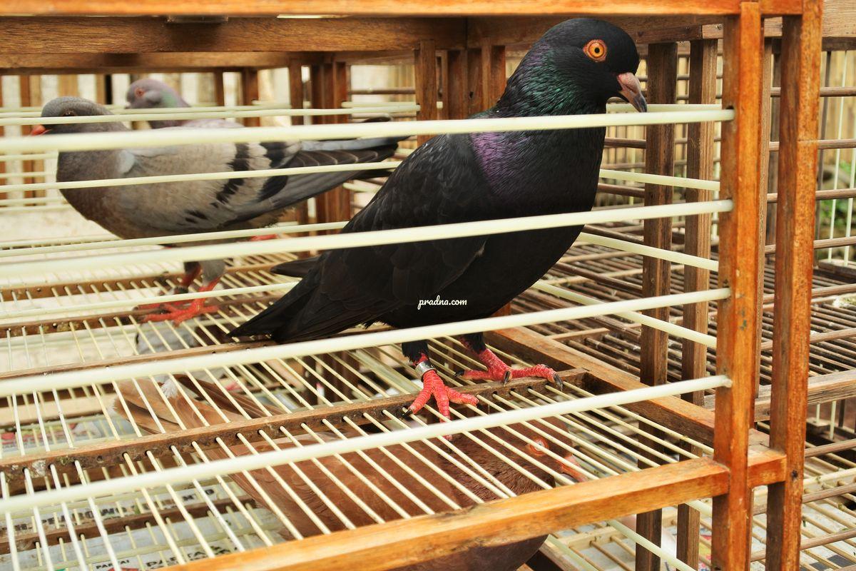 burung dara dalam sangkar