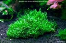 Blepharostoma trichophyllum - Pearl moss