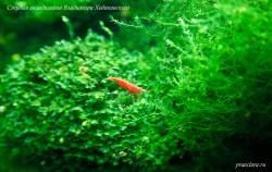 Neocaridina heteropoda Red., Var. Red fire