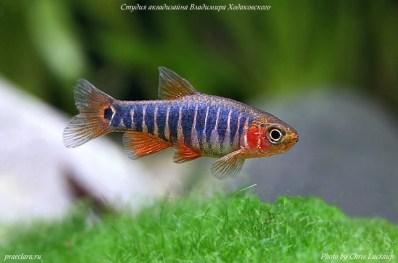 Расбора эритромикрон (Microrasbora erythromicron), нано-рыбки
