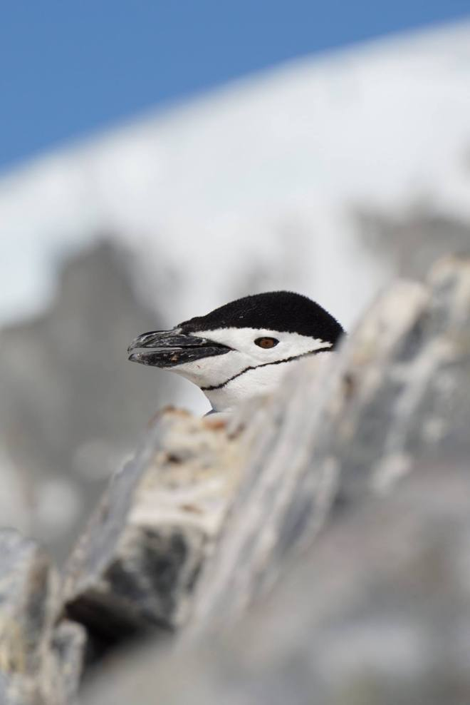 photos_and_videos/AntarcticaPenguins_10155338149716869/18208997_10155338158596869_6208266962061861207_o_10155338158596869.jpg