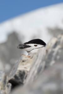 photos_and_videos/AntarcticaPenguins_10155338149716869/18208997_10155338158596869_6208266962061861207_o_10155338158596869.jpg