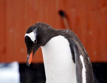 photos_and_videos/AntarcticaPenguins_10155338149716869/18209194_10155338162186869_7692379805013650082_o_10155338162186869.jpg