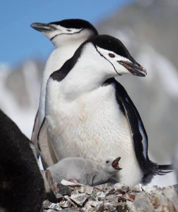 photos_and_videos/AntarcticaPenguins_10155338149716869/18216451_10155338158966869_6735915609062240163_o_10155338158966869.jpg