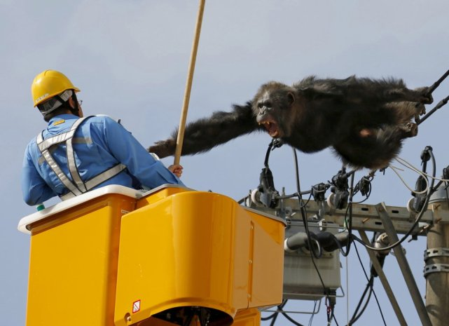 man-tries-to-capture-the-chimp-chacha
