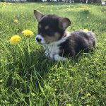 Pembroke Welsh Corgi Puppies Breeders For Sale Adoption Mn
