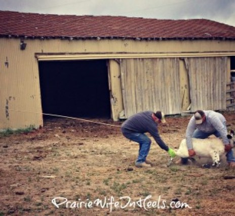 throwing calf