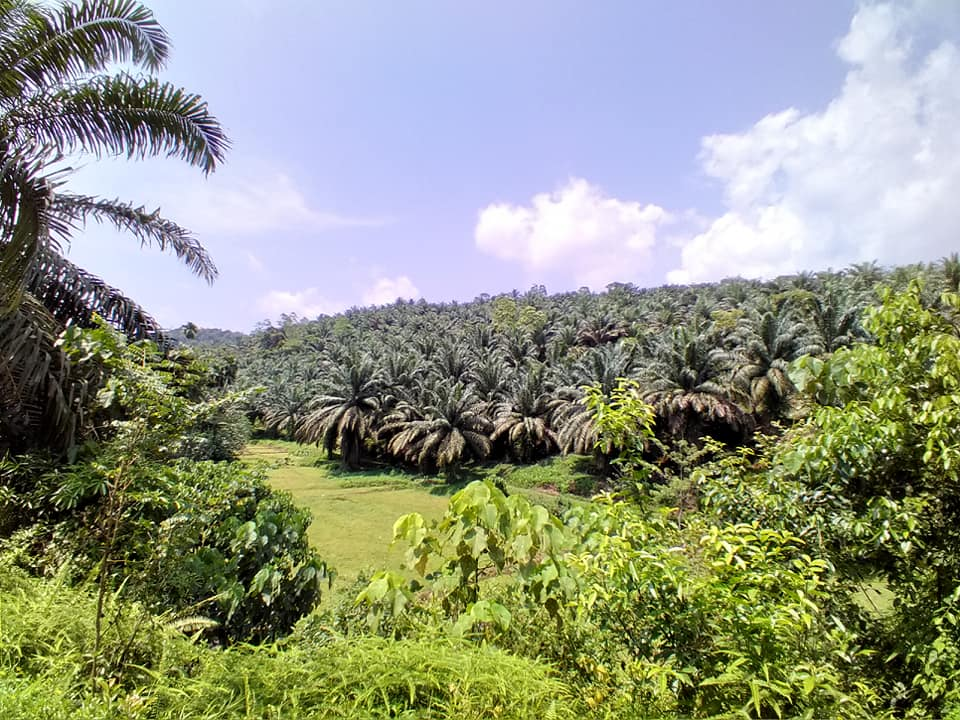 oil palm cultivation in Matugama