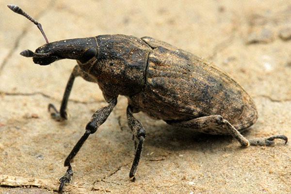 Beetle in Nepal