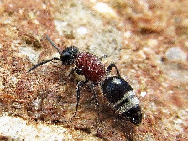 velvet ant from side