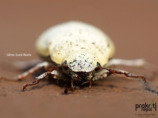 White Scarb Beetle