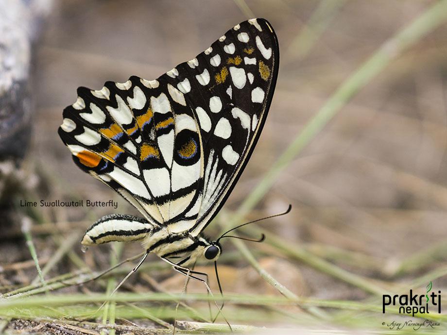 Lime Swallowtail Butterfly_Papilio demoleus