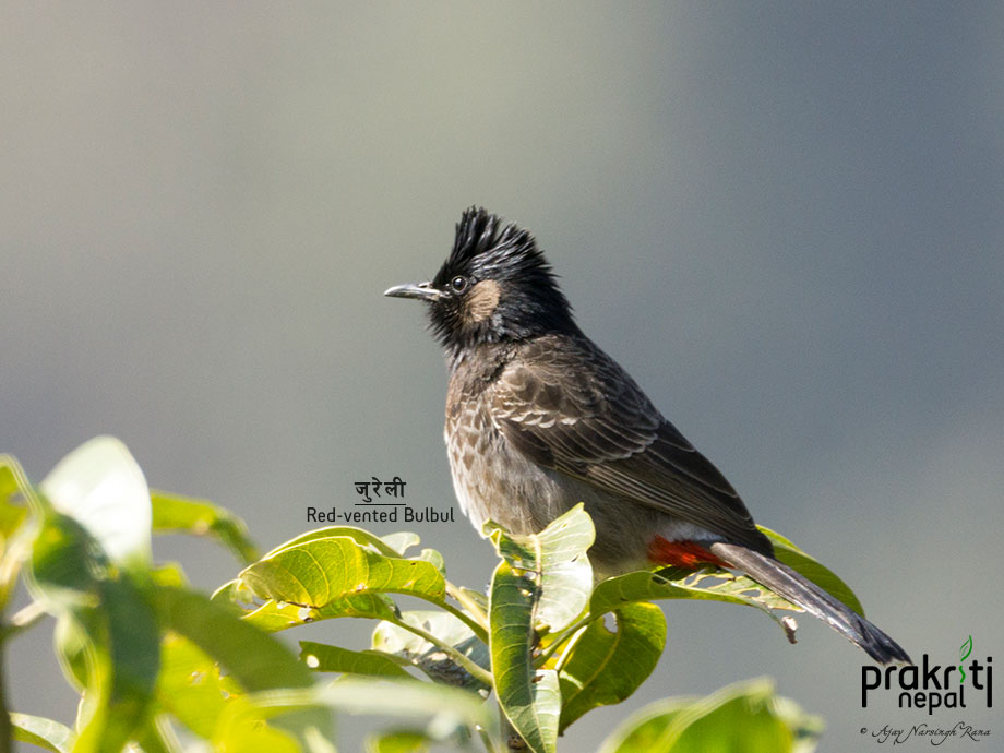 Red-vented-Bulbul
