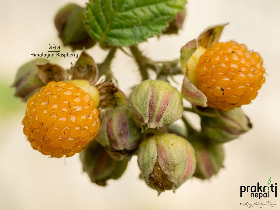 Himalayan Raspberry