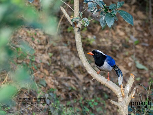 Red-billed-Blue-Magpie