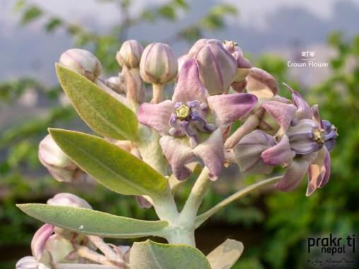 Crown-flower