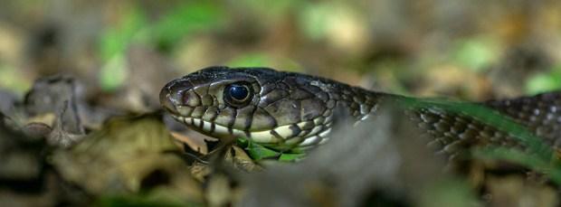 I finally spot a common rat snake near where I live
